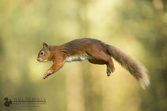 Red Squirrel Jump by WNPhotography on deviantART