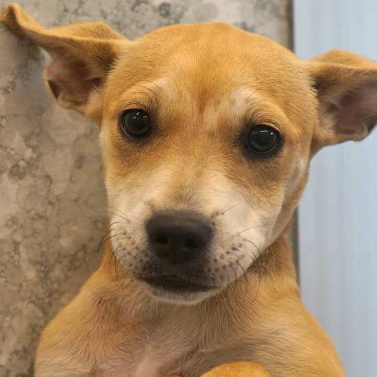 Adopt Romeo On Adoption Adoption Dachshund Mix Pets