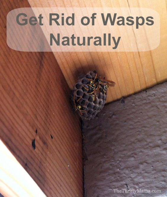 Homemade Non-Toxic Wasp Spray / Repellant : combine together in a squirt bottle 2 cups of water + 1 teaspoon of peppermint oil + 1 teaspoon of dish soap (optional); wait until early morning or late evening hours when it looks like they're sleeping, then shake and spray! You might need to apply the solution twice, but they will fall to the ground and die within seconds. Talk about a natural remedy!