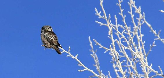 15-02-04 Northern Hawk Owl Hanging Out in Bellevue Idaho