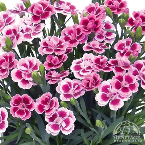 Dianthus Caryophyllus Pink Kisses Dianthus Caryophyllus Plants Pink Dianthus