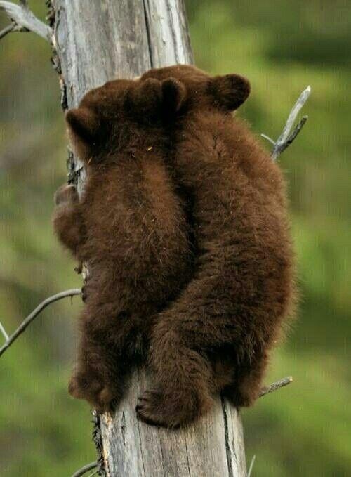 Baby brown bear racing up the tree