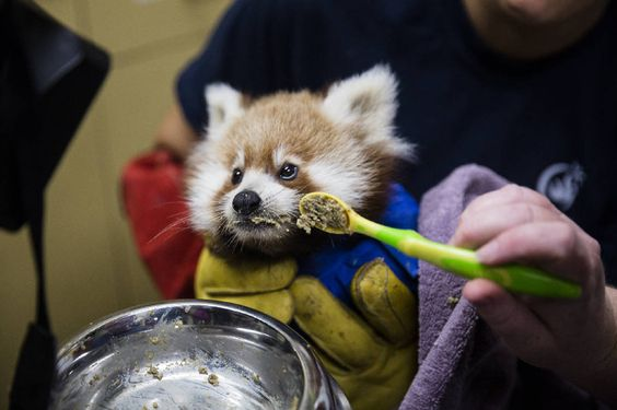 Orphan cub at Chattanooga Zoo being raised by keepers. (via Chattanooga Times Free Press)