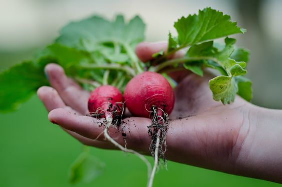 a hand holding radishes