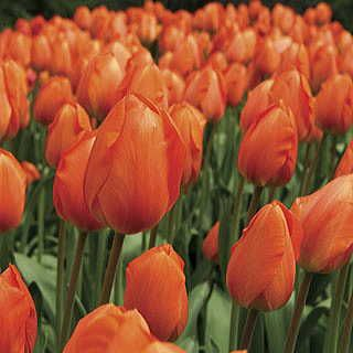 Greet the Late Spring Sunrise with Vibrant Orange Blooms!