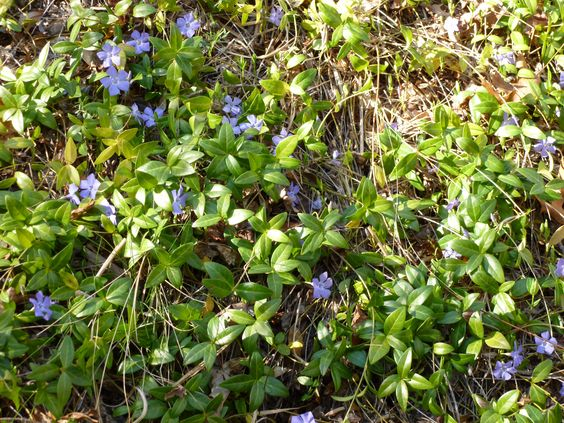The back area is covered in periwinkles in March.