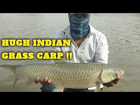 Sight Fishing For Gaint Grass Carp How To Catch Big Carp Hugh Carp Fishing Bait Tips And Rigs In 2020 Grass Carp Carp Fishing Carp Fishing Bait