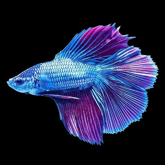 Betta ˈbɛtə Is A Large Genus Of Small Often Colorful Freshwater Ray Finned Fishes In The Gourami Family B Pet Fish Siamese Fighting Fish Betta Fish Tattoo