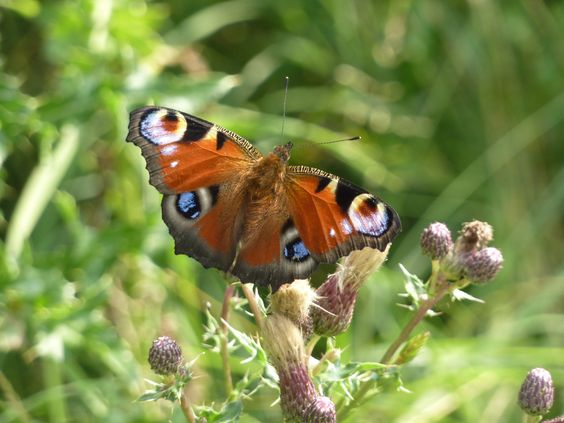 Peacock Butterfly in #NorthYorkshire enjoying the #Summer