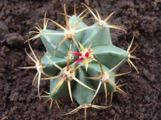 Download:Cacto em forma de Estrela (Wallpaper) - http://hypedownloads.com.br/cacto-em-forma-de-estrela-wallpaper.html