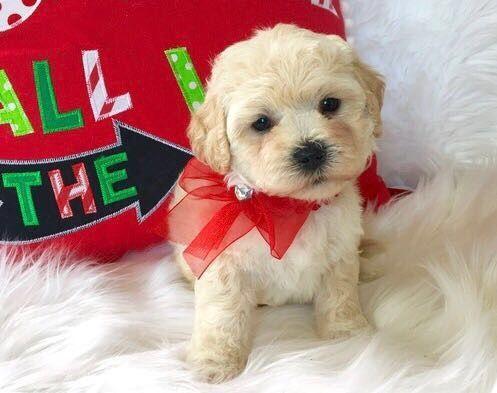 Maltipoo Puppies For Sale Houston Tx Maltipoo Puppy Maltipoo