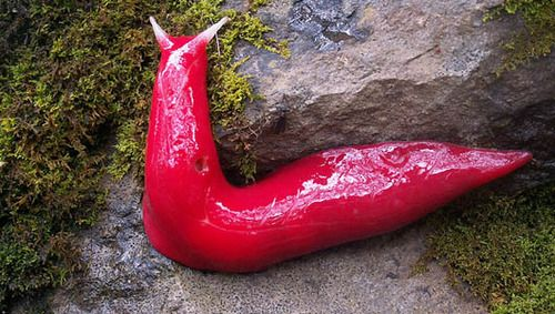 Giant, hot-pink slugs found in Australia      The bizarre 8-inch creatures exist only in the alpine forest of Mount Kaputar in New South Wales.