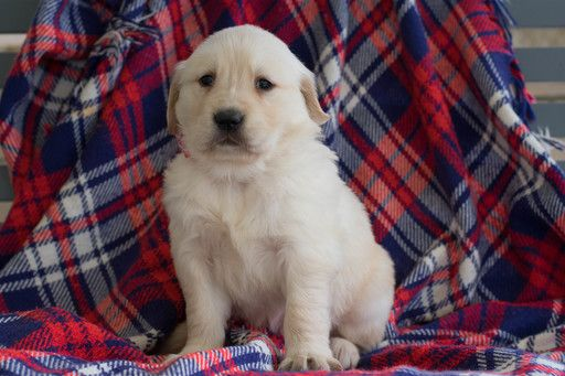 Golden Retriever Puppy For Sale In Leetonia Oh Adn 68933 On