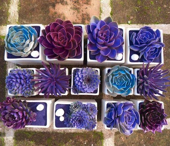 Succulents in plum colors