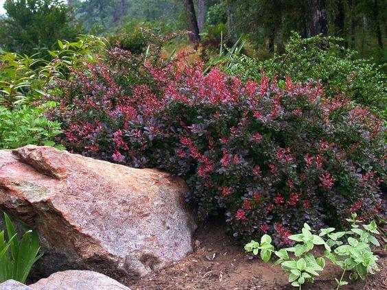 Crimson Pygmy Barberry ( Berberis thunbergii)