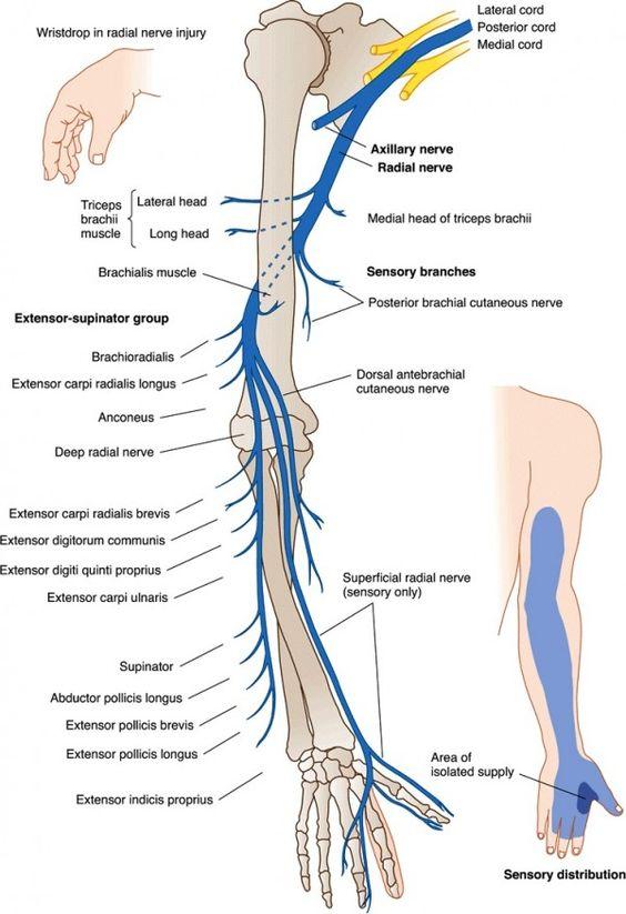 Nerve root anatomy