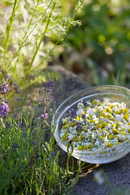 Chamomile & lavender for soothing teas