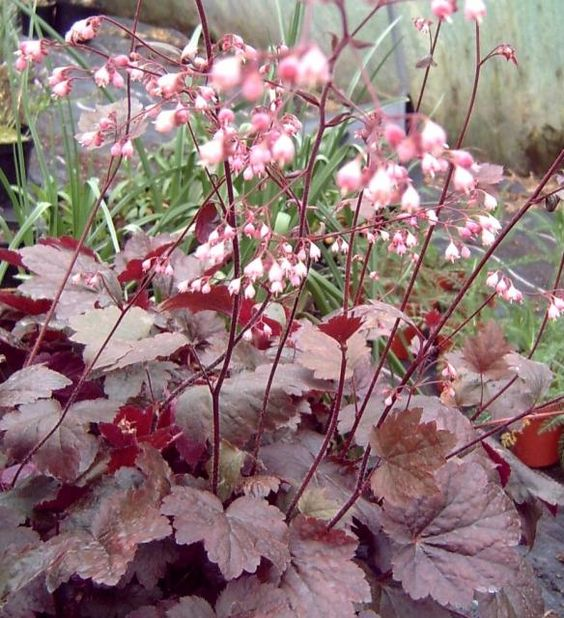 heuchera 39 rachel 39 plantes vivaces plantes shopping