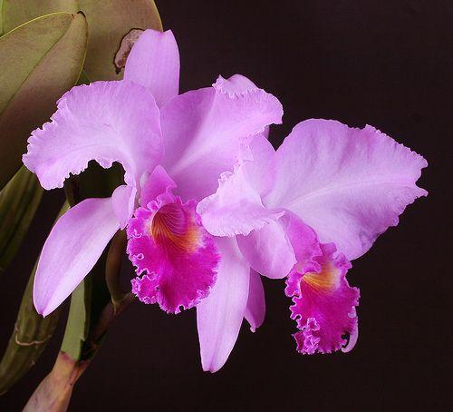 Cattleya Trianae Cattleya Orchid Cattleya Beautiful Orchids