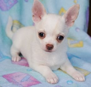 Tiny Teacup Chihuahua Puppy Click For More Pics Teacup
