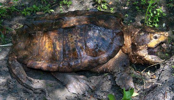 Tartaruga Aligator