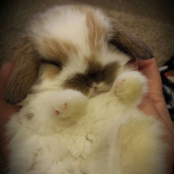 """My daughter wants a Holland Lop Bunny.  She sends me good test scores and says, """"pleeaassee, can I have a bunny?'  Ugh.  One more thing..."""