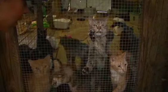 It's sad to know that there are cats who are victims of animal hoarding. These cats were expecting love and care but the condition that they were in was unbearable. In Alachua County, Florida, the Humane Society of the United …