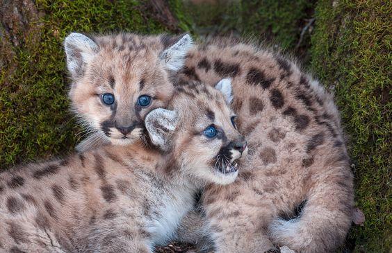 mountain lion cubs | North American ‹ Cheryl Schneider Photography