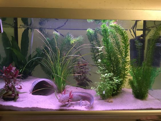 My axolotl tank fully set up with my little one settled in for Aquarium decoration set