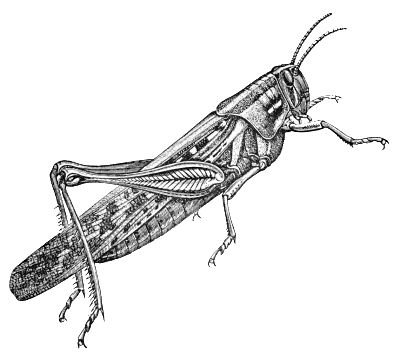 grasshopper with detail: