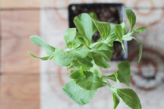 Are you a fan of this low-calorie sweetener? Learn how to use fresh stevia leaves around the kitchen. #stevia #sweetener