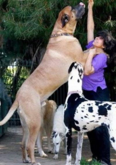 Exceptionally large dogs