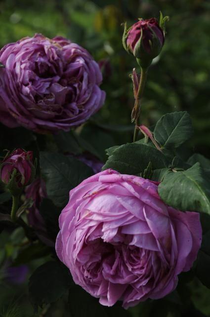 ~Hybrid Perpetual Rose: Rosa 'Madame Gabriel Luizet' (France, 1877)