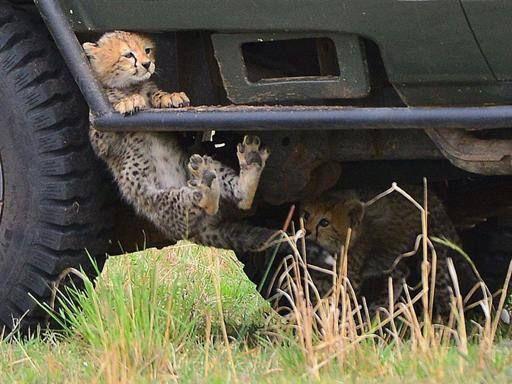 Kenya, i giochi degli arditi cuccioli di ghepardo
