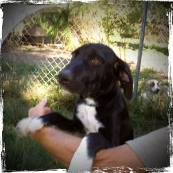 Willy is an adoptable Great Dane Dog in Yardley, PA.  Hi! My name is Willy, and we think that I am Great Dane/Lab mix.We think that because of my long, sleek and lean body build. I'm 5 months old, we...