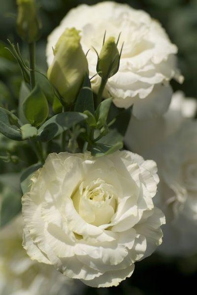 Lisianthus - Mariachi White