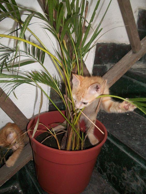 Pitico e Pipico acabando com a minha palmeira - com dois meses de vida
