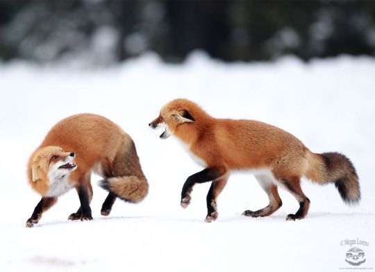 Red Foxes by Megan Lorenz on 500px