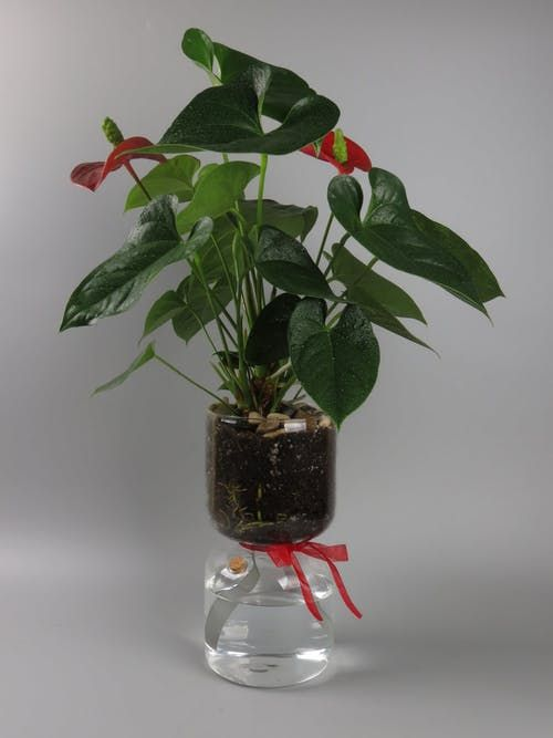 The Beautiful And Simplistic Design Of The Self Watering Glass Planter Combines Style With Purpose Wicking Material Plants Indoor Water Garden Anthurium Plant