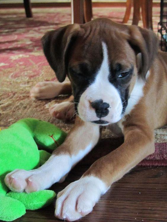 Boxer Puppy Rafael Safari At 12 Weeks Www Dailyboxer Com Boxerpuppy Boxer Dogs Dog Blog Boxer Dog Pictures
