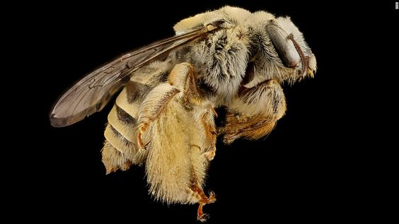 """Diadasia rinconis, a bee with pollen and """"a few stray cactus balls"""" on its hairy body, writes Droege.CNN 'The amazing diversity of bees'"""