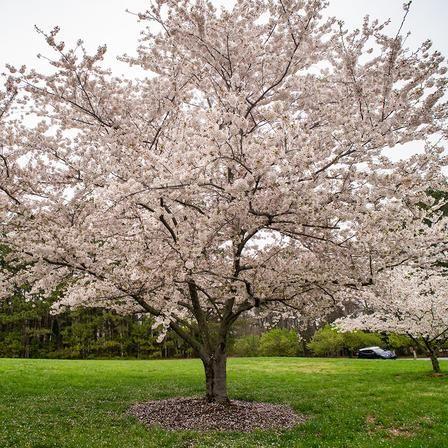 Yoshino Cherry Tree Yoshino Cherry Tree Yoshino Cherry Flowering Cherry Tree