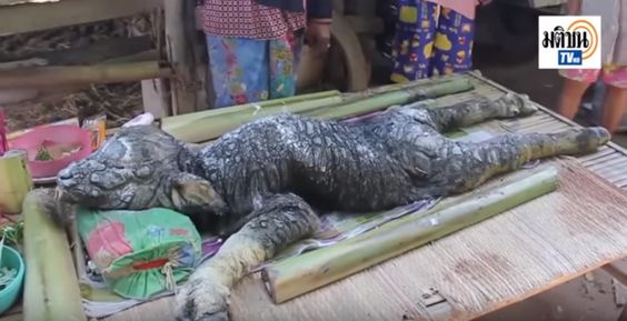Bizarre animal which appears to be a mix between a crocodile and buffalo found in Thailand | Chindaonline.com