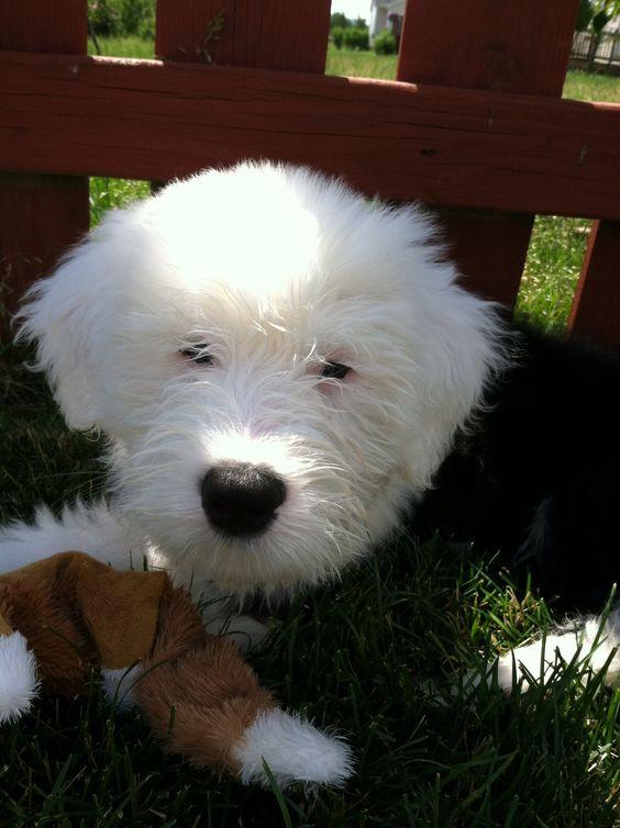 Dugan, 3 months, Old English Sheepdog