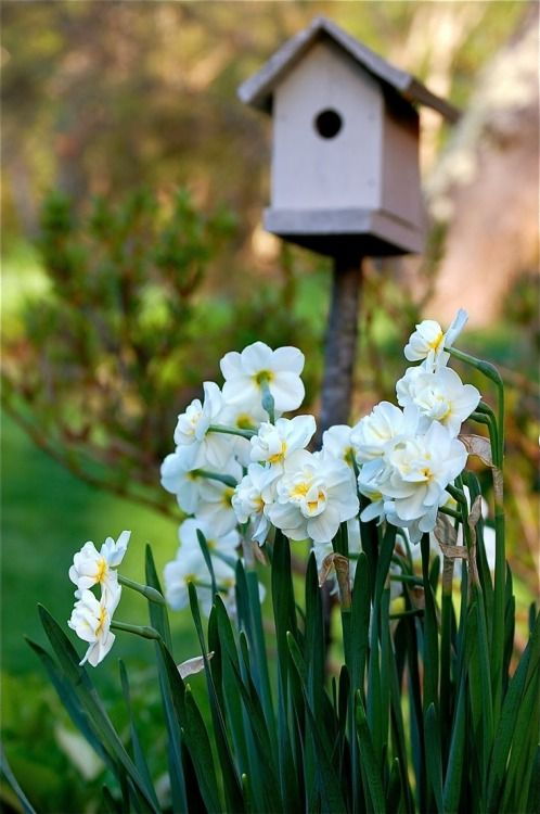 narcissus in the yard