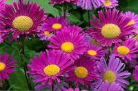 Fleurs - Reine-marguerite (Callistephus chinensis)