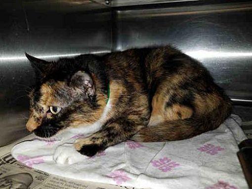 Urgent Kill Shelter Senior Chatsworth Ca Domestic Mediumhair Meet Prailine A Cat For Adoption Pets Kitten Adoption Cat Adoption