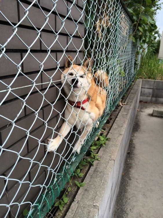 柴犬が何かに挟まってる写真が面白いと海外で話題に。しかし、どうして柴犬って・・・(汗) | チャンネル「てみた」