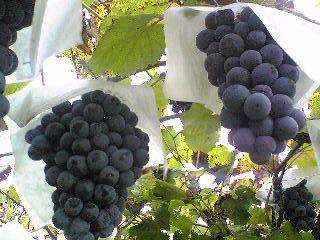 History of Moscato Wine - Vitis vinifera: Black muscat grapes