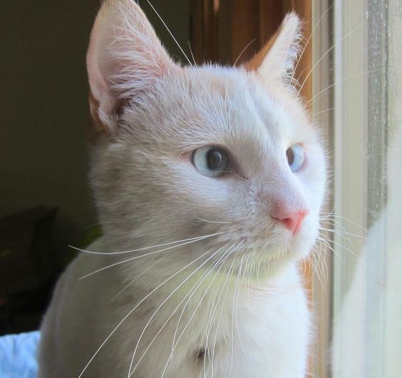 Adopt Harrison Affectionate Lap Cat On Petfinder Cats Cat Today Siamese Cats